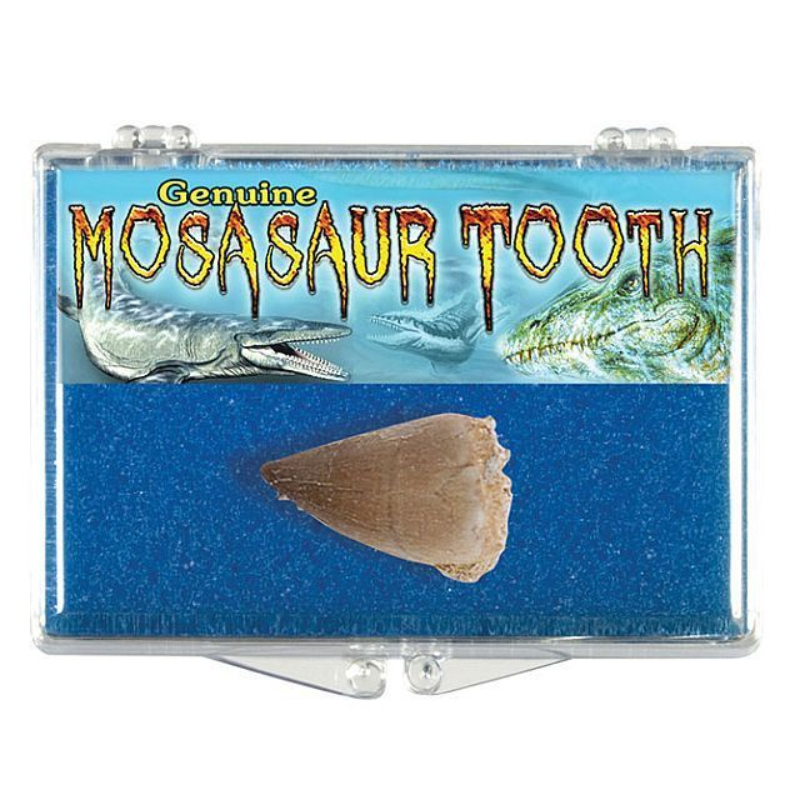 BOXED MOSASAUR TOOTH,1584B